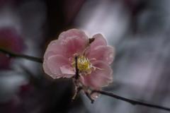 DSC07042. 梅に春の雨