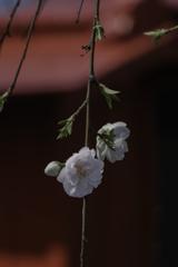 祠の前に桃の花