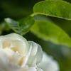 DSC03210  五月の青と白薔薇
