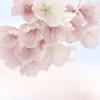DSC08301. 追憶 桜色の空