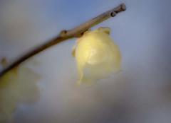 DSC00144 陽だまりの蠟梅