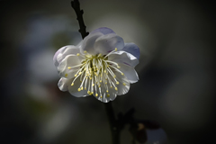 DSC03726 清楚な白梅の花