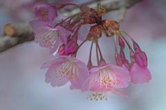 早朝に出遭った桜