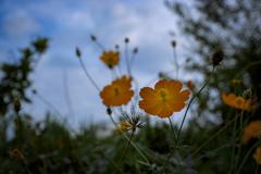 秋を紡ぐコスモスたち-2