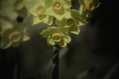 DSC03757 春到来を喜ぶ水仙