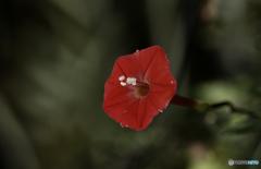 DSC06070 留紅草 (ルコウソウ)