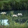 DSC05192. 彼岸花と秋の川