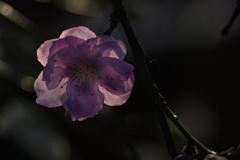 夕陽に浮かぶ桃の花