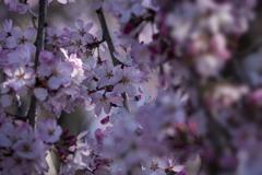 DSC02453 桜の季節来る