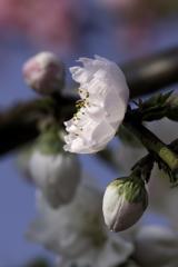 小粒の桃の花