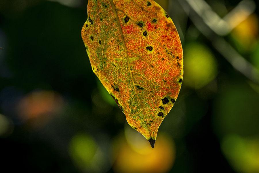 DSC00254.- 柿の葉色付く
