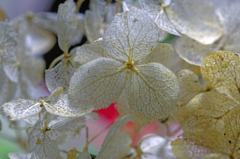 紫陽花は宝石に変身