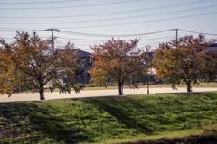 DSC05923.公園の手品師 (桜の樹)ですが)