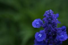 DSC03965. 青い妖精 jpg.