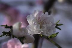 麗らかな花