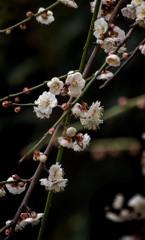 DSC06957 光彩放つ枝垂れ梅