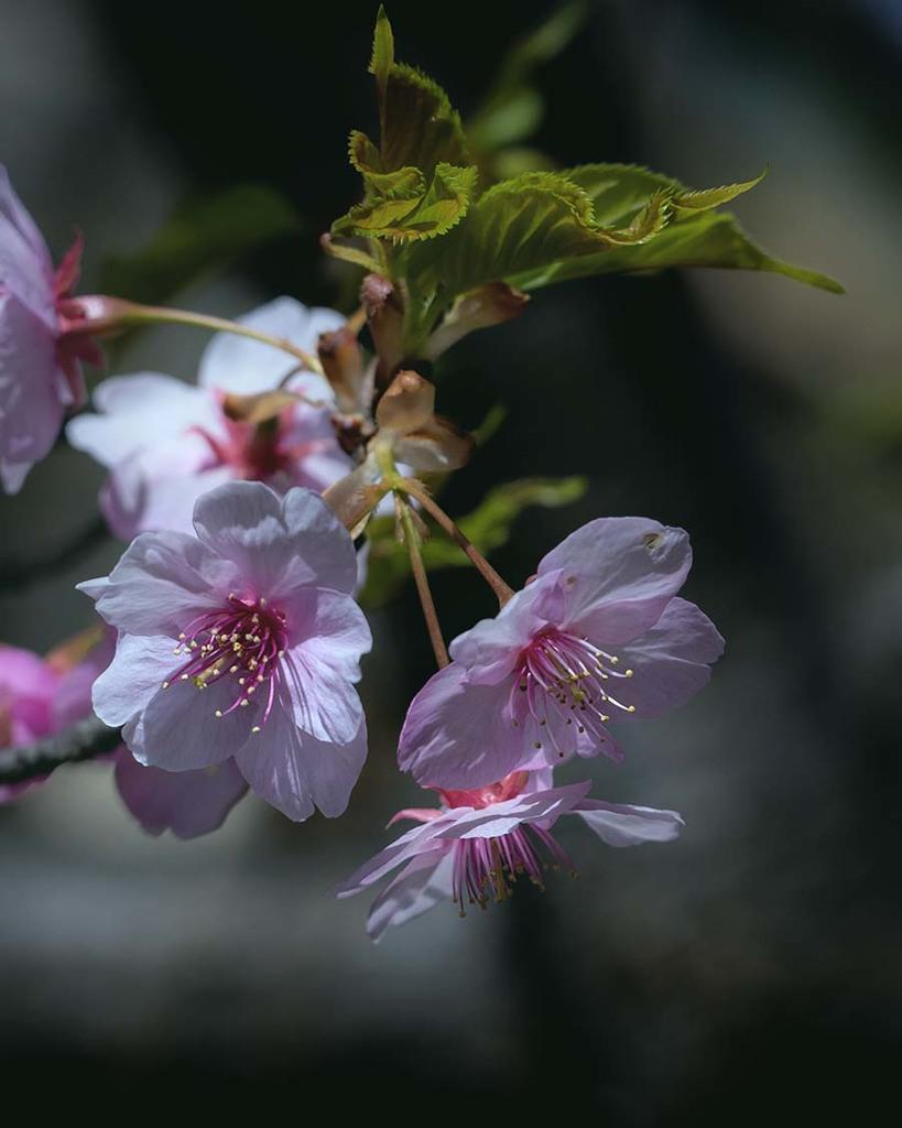 DSC03301 戸定公園の桜