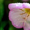 DSC03183  水玉は花の化粧水