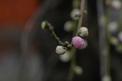 春は芽ぐむ
