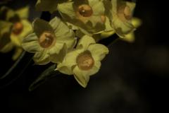 DSC03753 春を謳歌する如くの水仙