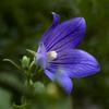 桔梗は秋の花-1