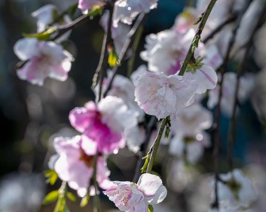 DSC02596 桃の花に朝陽