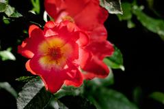DSC03011 赤い薔薇
