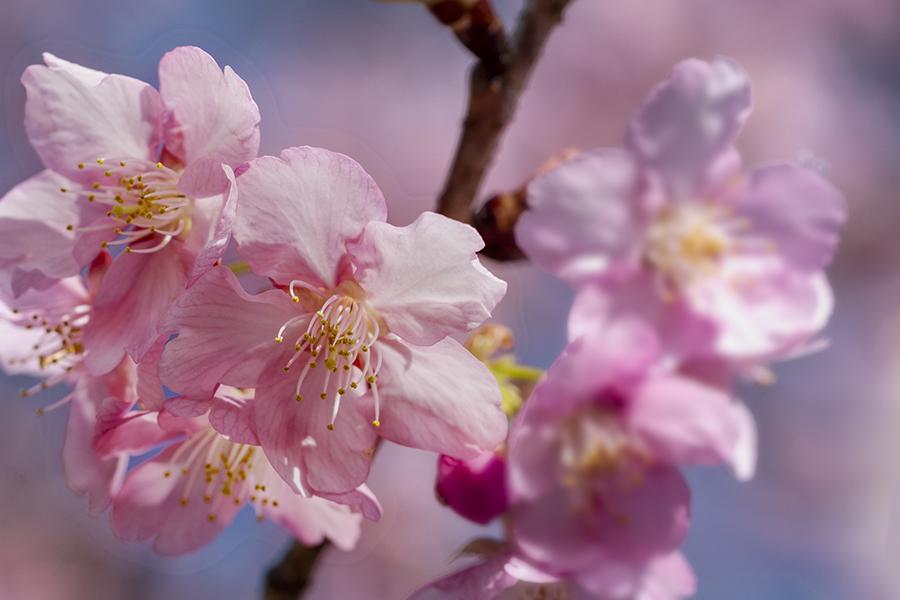 DSC03785 爛漫河津桜