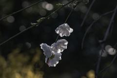 春を彩る桃の花-1