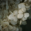 DSC01005. 紫陽花のミイラ?