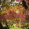 DSC01263 紅葉のカーテン