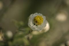 名も知らぬ小さい花 実は「花かんざし」でした