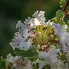 DSC09912. 枝は華やぎ宴の如し 梅雨明け間近か