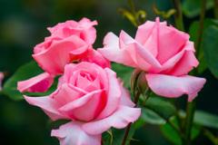 富山県花総合センターの薔薇
