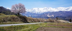 後立山と野平の桜