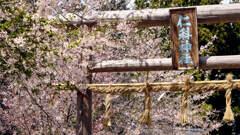 仁科神社の桜