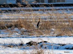 雪原で獲物を探す!