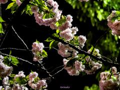 八重の夜桜