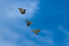 アゲハ蝶5