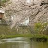 横浜、大岡川の桜