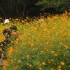 秋桜を撮る
