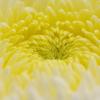 菊 その5