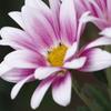 菊 その2