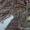 彦根旧港湾の桜
