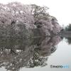 彦根城外濠の桜