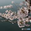 彦根場お濠の桜