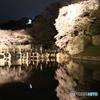 彦根城の夜桜