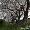 彦根港駐車場の桜