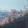 小田原城址公園の桜2