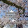 小田原城址公園の桜3